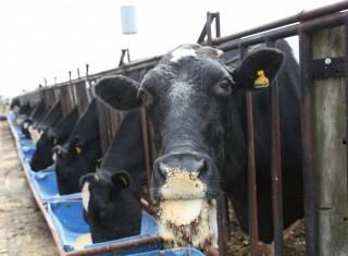 Projeto na área de produção animal de gado leiteiro na Universidade Paranaense - UNIPAR