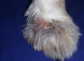 Atendimento especializado na clínica dermatológica e otológica de pequenos animais